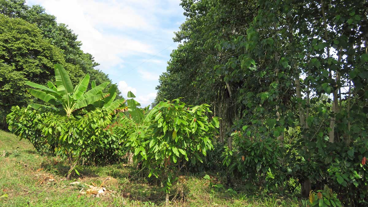 Agroforestry System - Plantain, Cocoa and Melina Trees
